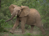 African Elephant on the Move in Samburu National Park Photographic Print by Michael Nichols