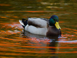 Male Mallard Duck Drinking. Fall Foliage Is Reflected in the Water Photographic Print by Darlyne A. Murawski