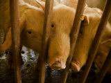 Three Domestic Pigs Peering Through the Bars of their Pen Photographic Print by Beverly Joubert