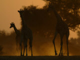Three Giraffes Walk at Sunset Photographic Print by Beverly Joubert