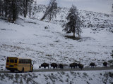 School Bus Stopped by a Herd of Bison in Yellowstone National Park Photographic Print by National Geographic Photographer