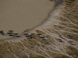 Aerial of a Herd of Burchell's Zebras Following Time Worn Paths Photographic Print by Beverly Joubert