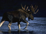 Seaking Peace and Quiet, a Bull Moose Slips across a River to Rest Fotografiskt tryck av Michael S. Quinton