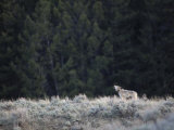 Collared Wolf Howls in the Lamar Valley of Yellowstone Photographic Print by Drew Rush