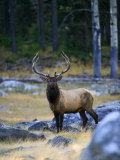 This Bull Elk Was Looking for Cows During the Rut in Grand Teton Photographic Print by Drew Rush