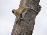 Vervet Monkey Climbing a Tree Photographic Print by Michael Nichols