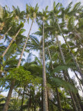 Extremely Tall Palm Trees over 50-Feet-Tall Line the Coast of Hawaii Photographic Print by Mike Theiss