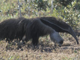 Giant Anteater Near Emas National Park, in the Cerrado Photographic Print by Scott Warren
