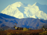 Caribou on the Move in the Foothills of Mount Mckinley Photographic Print by Michael S. Quinton