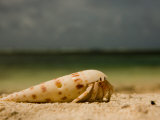 Hermit Crab in an Auger Shell, on a Beach Photographic Print by Beverly Joubert