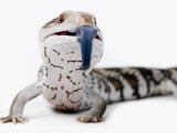 Eastern Blue-Tongue Lizard Pokes Tongue Out in Defense Photographic Print by Brooke Whatnall