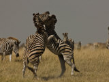 Two Burchell's Zebras Fighting, Others Looking On Photographic Print by Beverly Joubert