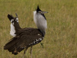 Kori Bustard in a Courtship Display Photographic Print by Beverly Joubert