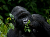 Mountain Gorilla Eating Leaves Photographic Print by Beverly Joubert