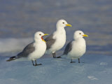 Trio of Black-Legged Kittiwakes Standing on Sea Ice Photographie par Ralph Lee Hopkins