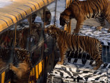Tourists Warch as Tigers Feed on Meat Hanging from the Side of Buses Photographic Print by Michael Nichols