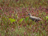 Clapper Rail Bird Moving Through Vegetation Photographic Print by Roy Toft