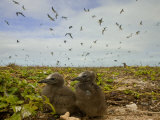 Pair of Sooty Tern Chicks in their Nest Photographic Print by Beverly Joubert