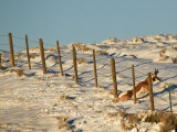 Pronghorn Buck Crawling under a Fence to Get to it's Wintering Grounds Photographic Print by Drew Rush