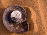 Seashell Fossil in the Sand Photographic Print by Abraham Nowitz