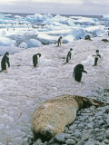 Adelie Penguins and a Sleeping Weddell Seal on a Rocky Beach Photographic Print by Gordon Wiltsie