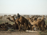 Camels and a Rider in the Desert Photographic Print by Lynn Abercrombie