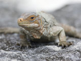 Close Up of an Endangered White Cay Iguana, Cyclura Rileyi Cristata Photographic Print by Roy Toft