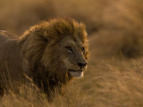 Male African Lion, Panthera Leo, in Golden Grasslands Photographic Print by Beverly Joubert