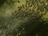 Aerial View of a Herd of Running African Buffalo (Syncerus Caffer) Photographic Print by Beverly Joubert