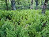 Spring Ferns in Shenandoah National Park Reproduction photographique par Greg Dale