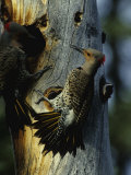 Northern Flickers Fight over Nesting Cavity Photographic Print by Michael S. Quinton
