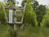 Chardonnay Grapes at a Vineyard in Virginia Reproduction photographique par Greg Dale