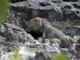 Endangered White Cay Iguana on Rock Formations in Sunlight Photographic Print by Roy Toft