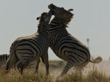 Two Burchell's Zebras Fighting Photographic Print by Beverly Joubert