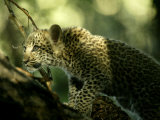 Leopard (Panthera Pardus) Cub Stands on a Tree Branch Photographic Print by Beverly Joubert