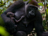 Western Lowland Gorilla Mother Breastfeeding Her Infant Photographic Print by Ian Nichols