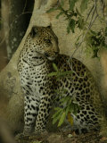 Leopard (Panthera Pardus) Sits in the Woods Photographic Print by Beverly Joubert