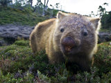 Common Wombat Feeds on Alpine Meadow Shrubs Ahead of Winter Snows Photographic Print by Jason Edwards