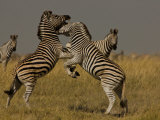 Two Burchell's Zebras Fighting as Others Watch Photographic Print by Beverly Joubert