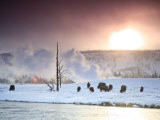 Group of Bison Feeding in the Snow During the Winter in Yellowstone Photographic Print by Drew Rush