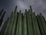 Cactus Wall Against a Stormy Sky Photographic Print by Raul Touzon
