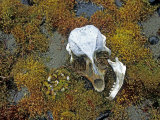 Seal Skull at Cape Fiume on Champ Island Photographic Print by Gordon Wiltsie