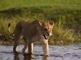 Female African Lioness Walking Through Water and Snarling Photographic Print by Beverly Joubert