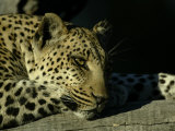 Close-up of Leopard Lying on a Tree Branch Photographic Print by Beverly Joubert