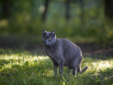 Grey Cat Sits in Wet Grass in the Early Morning Light Photographic Print by Hannele Lahti