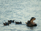 Hippos Float in the Zambezi River in Zambia Fotodruck von Annie Griffiths Belt