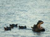 Hippos Float in the Zambezi River in Zambia Fotografiskt tryck av Annie Griffiths Belt