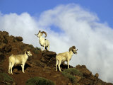 Three Dall Sheep Rams on a Hillside Photographic Print by Michael S. Quinton