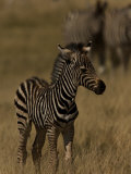 Portrait of a Very Young Burchell's Zebra Photographic Print by Beverly Joubert