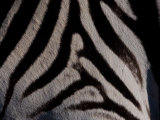 Close Up of the Fur of a Burchell's Zebra Photographic Print by Beverly Joubert